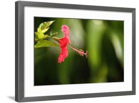 The Seychelles, La Digue, Hibiscus, Red Blossom-Catharina Lux-Framed Art Print