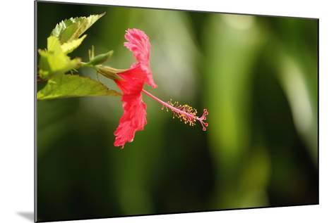 The Seychelles, La Digue, Hibiscus, Red Blossom-Catharina Lux-Mounted Photographic Print