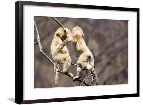 Young Monkeys, Golden Snub-Nosed Monkeys, Rhinopithecus Roxellana, Tree, Branches, Hang, Play-Frank Lukasseck-Framed Art Print