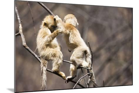 Young Monkeys, Golden Snub-Nosed Monkeys, Rhinopithecus Roxellana, Tree, Branches, Hang, Play-Frank Lukasseck-Mounted Photographic Print