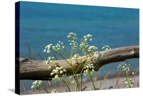The Baltic Sea, RŸgen, Yarrow in Front of Blue Sea-Catharina Lux-Stretched Canvas Print