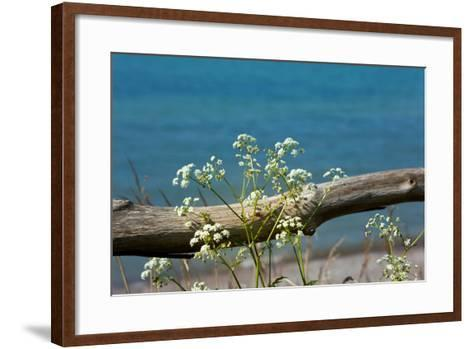 The Baltic Sea, RŸgen, Yarrow in Front of Blue Sea-Catharina Lux-Framed Art Print