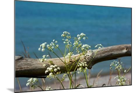 The Baltic Sea, RŸgen, Yarrow in Front of Blue Sea-Catharina Lux-Mounted Photographic Print