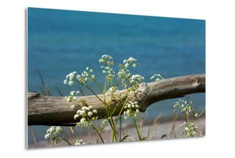 The Baltic Sea, RŸgen, Yarrow in Front of Blue Sea-Catharina Lux-Metal Print