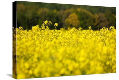 The Baltic Sea, RŸgen, Rape Field, Summer-Catharina Lux-Stretched Canvas Print