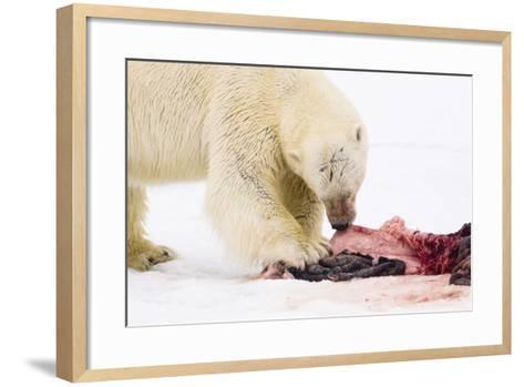Norway, Spitsbergen, the Atlantic, Floes, Polar Bear, Ursus Maritimus, Prey, Eating-Frank Lukasseck-Framed Art Print