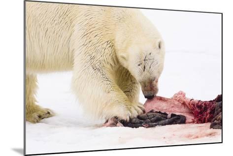 Norway, Spitsbergen, the Atlantic, Floes, Polar Bear, Ursus Maritimus, Prey, Eating-Frank Lukasseck-Mounted Photographic Print