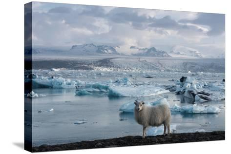 Jškulsarlon - Glacier Lagoon, Morning Light, Sheep-Catharina Lux-Stretched Canvas Print
