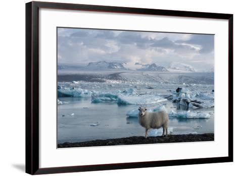 Jškulsarlon - Glacier Lagoon, Morning Light, Sheep-Catharina Lux-Framed Art Print