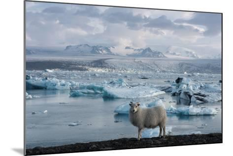 Jškulsarlon - Glacier Lagoon, Morning Light, Sheep-Catharina Lux-Mounted Photographic Print