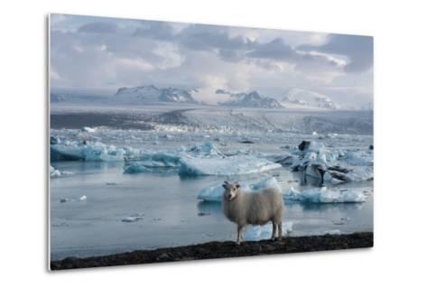 Jškulsarlon - Glacier Lagoon, Morning Light, Sheep-Catharina Lux-Metal Print