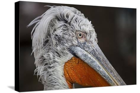 Pelican in the Zoo Schšnbrunn, Vienna, Austria, Europe, February-Gerhard Wild-Stretched Canvas Print