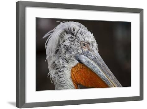 Pelican in the Zoo Schšnbrunn, Vienna, Austria, Europe, February-Gerhard Wild-Framed Art Print