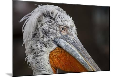 Pelican in the Zoo Schšnbrunn, Vienna, Austria, Europe, February-Gerhard Wild-Mounted Photographic Print