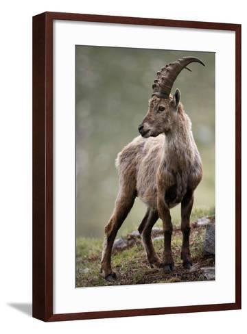 Italy, Alpine Ibex, Capra Ibex-Rainer Mirau-Framed Art Print