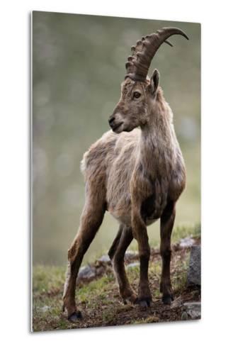 Italy, Alpine Ibex, Capra Ibex-Rainer Mirau-Metal Print