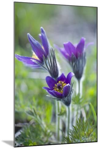 Dane's Bloods in the Meadow-Brigitte Protzel-Mounted Photographic Print