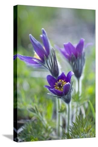 Dane's Bloods in the Meadow-Brigitte Protzel-Stretched Canvas Print