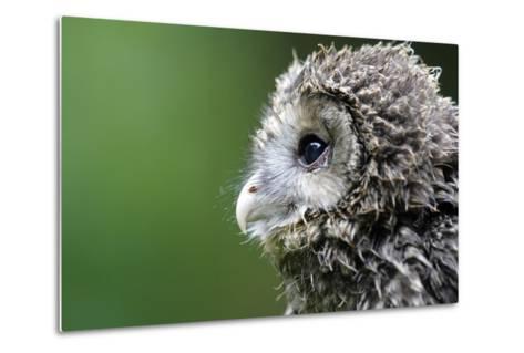 Ural Owl, Strix Uralensis, Young Animal-Ronald Wittek-Metal Print