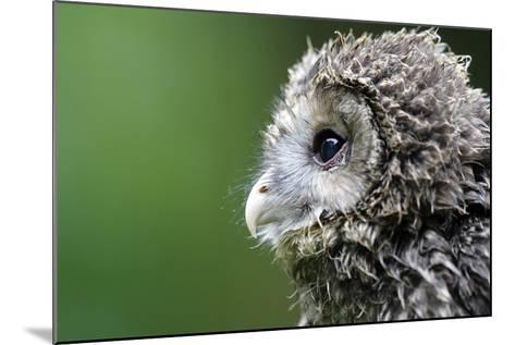 Ural Owl, Strix Uralensis, Young Animal-Ronald Wittek-Mounted Photographic Print