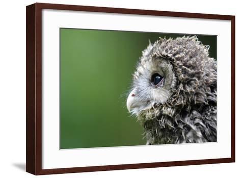 Ural Owl, Strix Uralensis, Young Animal-Ronald Wittek-Framed Art Print