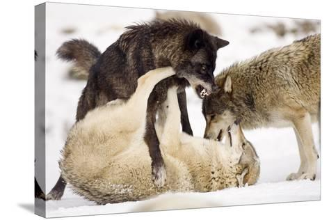 Snow, Wolves, Canis Lupus, Power Struggle Nature, Animals-Ronald Wittek-Stretched Canvas Print