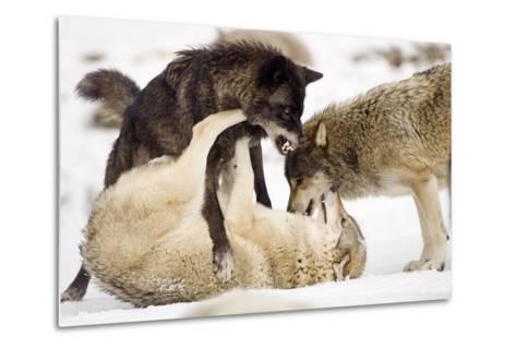 Snow, Wolves, Canis Lupus, Power Struggle Nature, Animals-Ronald Wittek-Metal Print