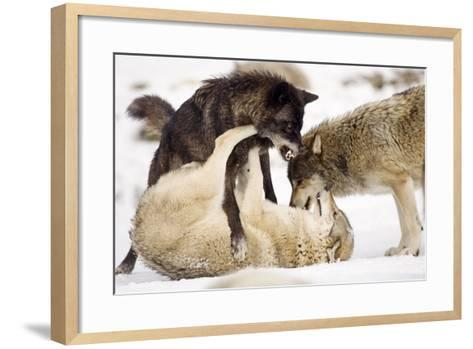 Snow, Wolves, Canis Lupus, Power Struggle Nature, Animals-Ronald Wittek-Framed Art Print