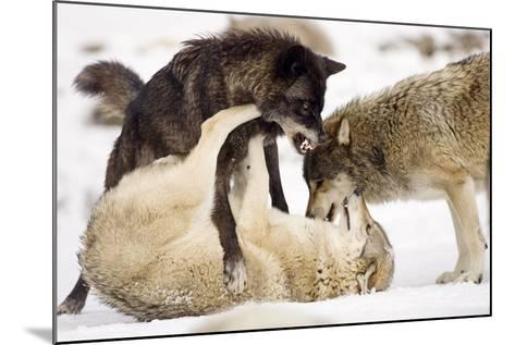 Snow, Wolves, Canis Lupus, Power Struggle Nature, Animals-Ronald Wittek-Mounted Photographic Print