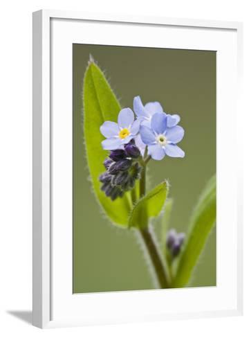 Forget-Me-Not, Myosotis, Blossoms-Rainer Mirau-Framed Art Print