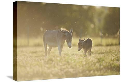 Donkey, Equus Asinus Asinus, Mother and Foal, Meadow, are Lying Laterally-David & Micha Sheldon-Stretched Canvas Print