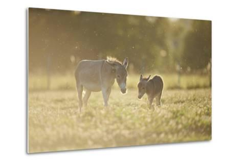 Donkey, Equus Asinus Asinus, Mother and Foal, Meadow, are Lying Laterally-David & Micha Sheldon-Metal Print