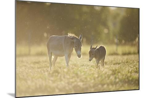 Donkey, Equus Asinus Asinus, Mother and Foal, Meadow, are Lying Laterally-David & Micha Sheldon-Mounted Photographic Print
