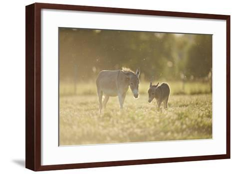 Donkey, Equus Asinus Asinus, Mother and Foal, Meadow, are Lying Laterally-David & Micha Sheldon-Framed Art Print