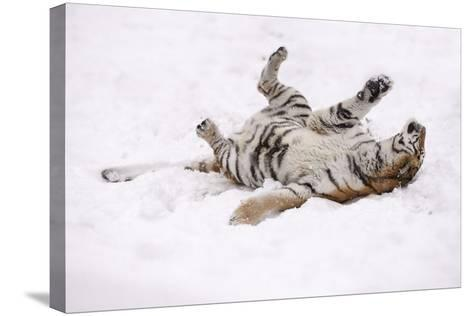 Siberian Tiger, Panthera Tigris Altaica, Female Rolls in the Snow-Andreas Keil-Stretched Canvas Print