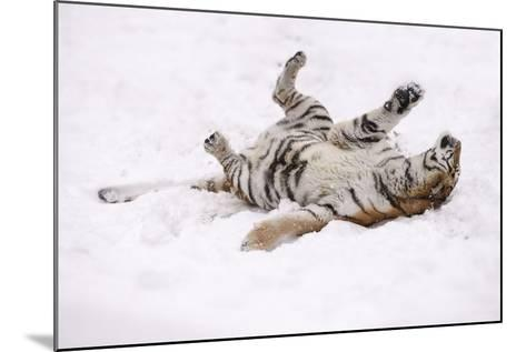 Siberian Tiger, Panthera Tigris Altaica, Female Rolls in the Snow-Andreas Keil-Mounted Photographic Print