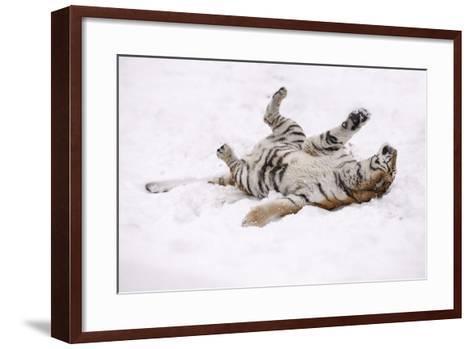 Siberian Tiger, Panthera Tigris Altaica, Female Rolls in the Snow-Andreas Keil-Framed Art Print