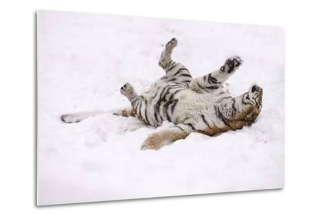 Siberian Tiger, Panthera Tigris Altaica, Female Rolls in the Snow-Andreas Keil-Metal Print