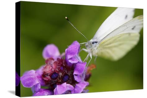 Cabbage White Butterfly, Pieris Brassicae, Blossom, Sitting-Alfons Rumberger-Stretched Canvas Print