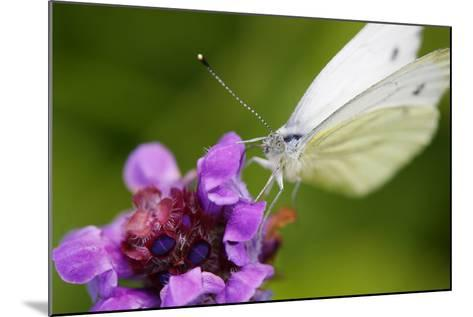 Cabbage White Butterfly, Pieris Brassicae, Blossom, Sitting-Alfons Rumberger-Mounted Photographic Print