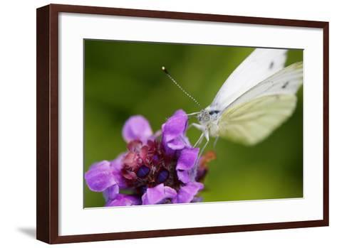Cabbage White Butterfly, Pieris Brassicae, Blossom, Sitting-Alfons Rumberger-Framed Art Print