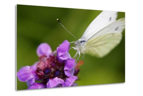 Cabbage White Butterfly, Pieris Brassicae, Blossom, Sitting-Alfons Rumberger-Metal Print