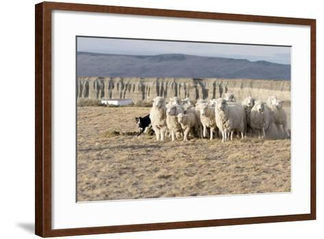 Argentina, Patagonia, Province Santa Cruz, Sheep Farm, Flock of Sheep, Sheepdog-Chris Seba-Framed Art Print
