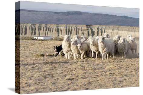 Argentina, Patagonia, Province Santa Cruz, Sheep Farm, Flock of Sheep, Sheepdog-Chris Seba-Stretched Canvas Print