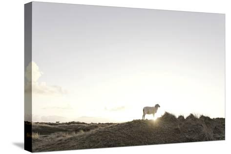 Sheep on Dune, the Sun, Back Light, List, Island Sylt, Schleswig Holstein, Germany-Axel Schmies-Stretched Canvas Print