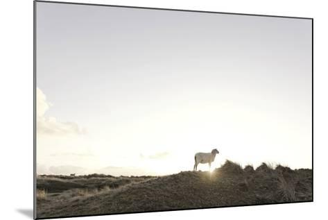 Sheep on Dune, the Sun, Back Light, List, Island Sylt, Schleswig Holstein, Germany-Axel Schmies-Mounted Photographic Print