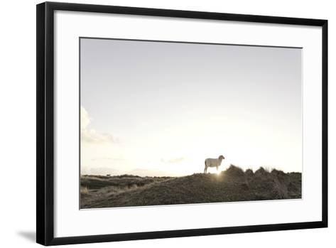 Sheep on Dune, the Sun, Back Light, List, Island Sylt, Schleswig Holstein, Germany-Axel Schmies-Framed Art Print