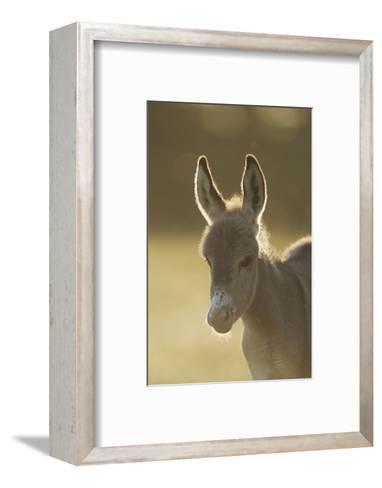 Donkey, Equus Asinus Asinus, Foal, Portrait, Meadow, Is Lying Laterally-David & Micha Sheldon-Framed Art Print
