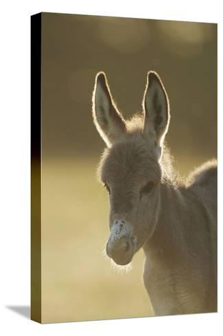 Donkey, Equus Asinus Asinus, Foal, Portrait, Meadow, Is Lying Laterally-David & Micha Sheldon-Stretched Canvas Print