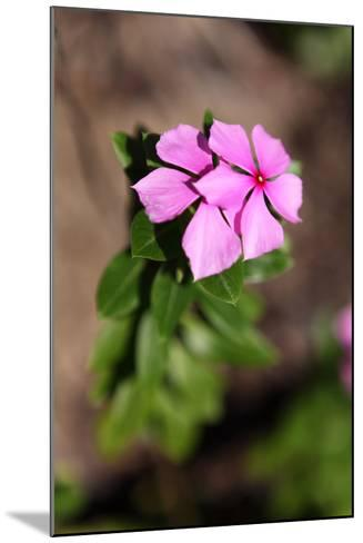 The Seychelles, La Digue, Medicinal Plants, Madagascar Periwinkle-Catharina Lux-Mounted Photographic Print